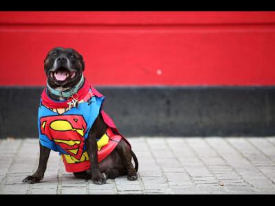 Staffordshire Bull Terrier, demn de toată încrederea
