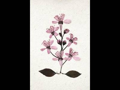Prima floare presată